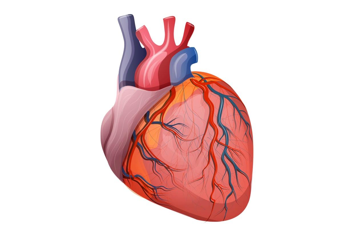 Sydän jaksaa, koska se ei joudu hapoille. Kuva: Shutterstock