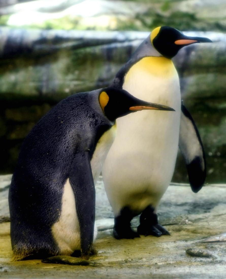 """Koiraspingviinit Ping ja Skipper elävät parina Berliinin eläintarhassa. Ne ovat hoitaneet yhdessä emonsa hylkäämää poikasta. Kuva: <span class=""""photographer"""">Annegret Hilse / Reuters</span>"""