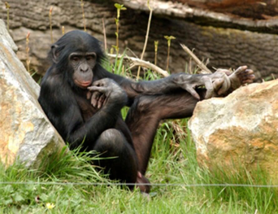 """Kääpiosimpannssi eli bobobo (Pan paniscus). Kuva: <span class=""""photographer"""">MPI-EVA.</span>"""