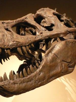 """Tyrannosaurus rex oli täysikasvuisena suuri petodinosaurus. Kuva: <span class=""""photographer"""">David Monniaux / Wikimedia Commons</span>"""