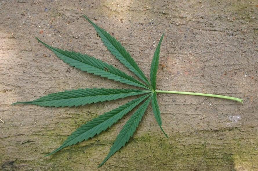 """Hamppukasvista valmistetaan marihuanaa. Kuva: <span class=""""photographer"""">Wikimedia Commons</span>"""