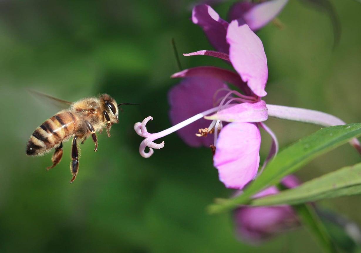 Mehiläisten katoaminen vaikeuttaa ruoantuotantoa. Kuva: Kimmo Taskinen HS