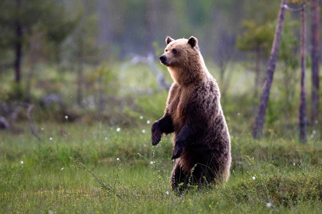 Suomen kielessä on jopa satoja kansalliseläintämme karhua kuvaavia sanoja ja sanayhdistelmiä. Kuva: Getty Images