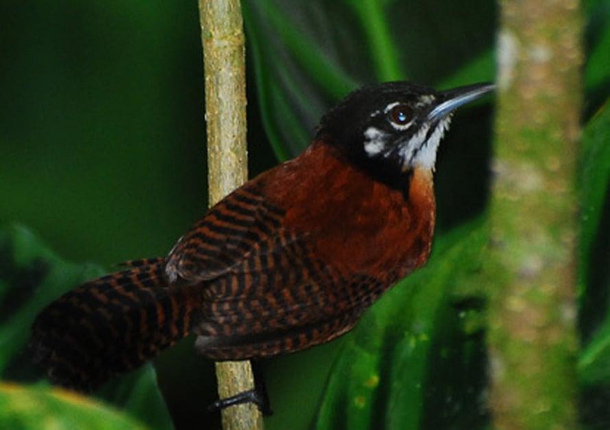 """Raitapeukaloinen on yksi parilaulua harrastavista trooppisista peukaloislajeista. Kuva: <span class=""""photographer""""><A HREF=http://commons.wikimedia.org/wiki/Main_Page>Wikimedia Commons</A></span>"""