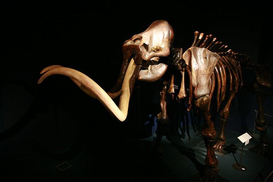 Sukupuuttoon kuollut mammutti Neuchâtelin luonnonhistoriallisessa museossa.
