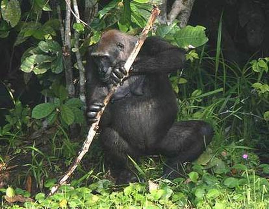 "Kuva: <span class=""photographer"">Wildlife Conservation Society/Thomas Breuer.</span>"