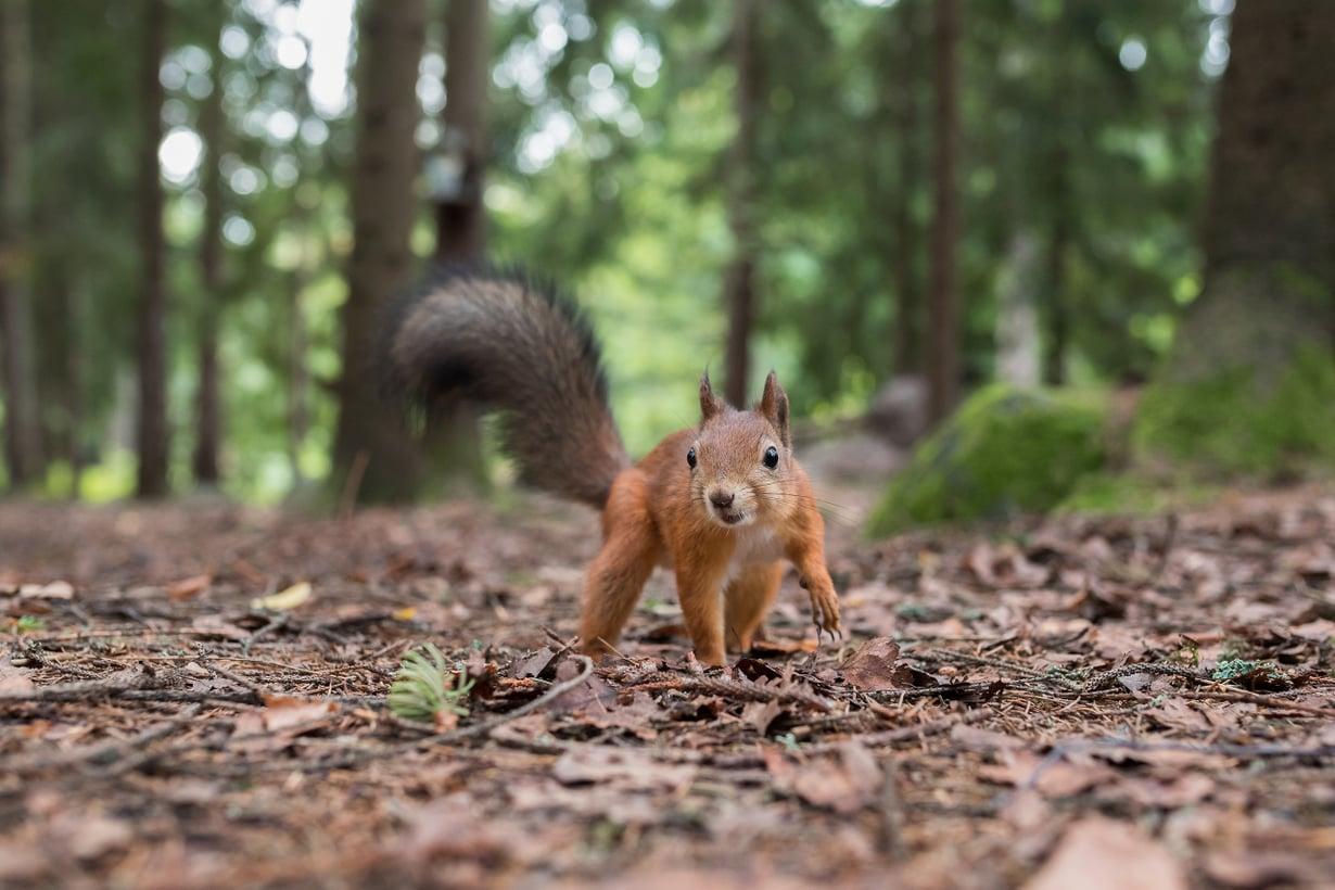 Orava on aktiivinen päiväsaikaan toisin kuin useimmat muut jyrsijät ja nisäkkäät ylipäätään. Kuva: Ossi Saarinen