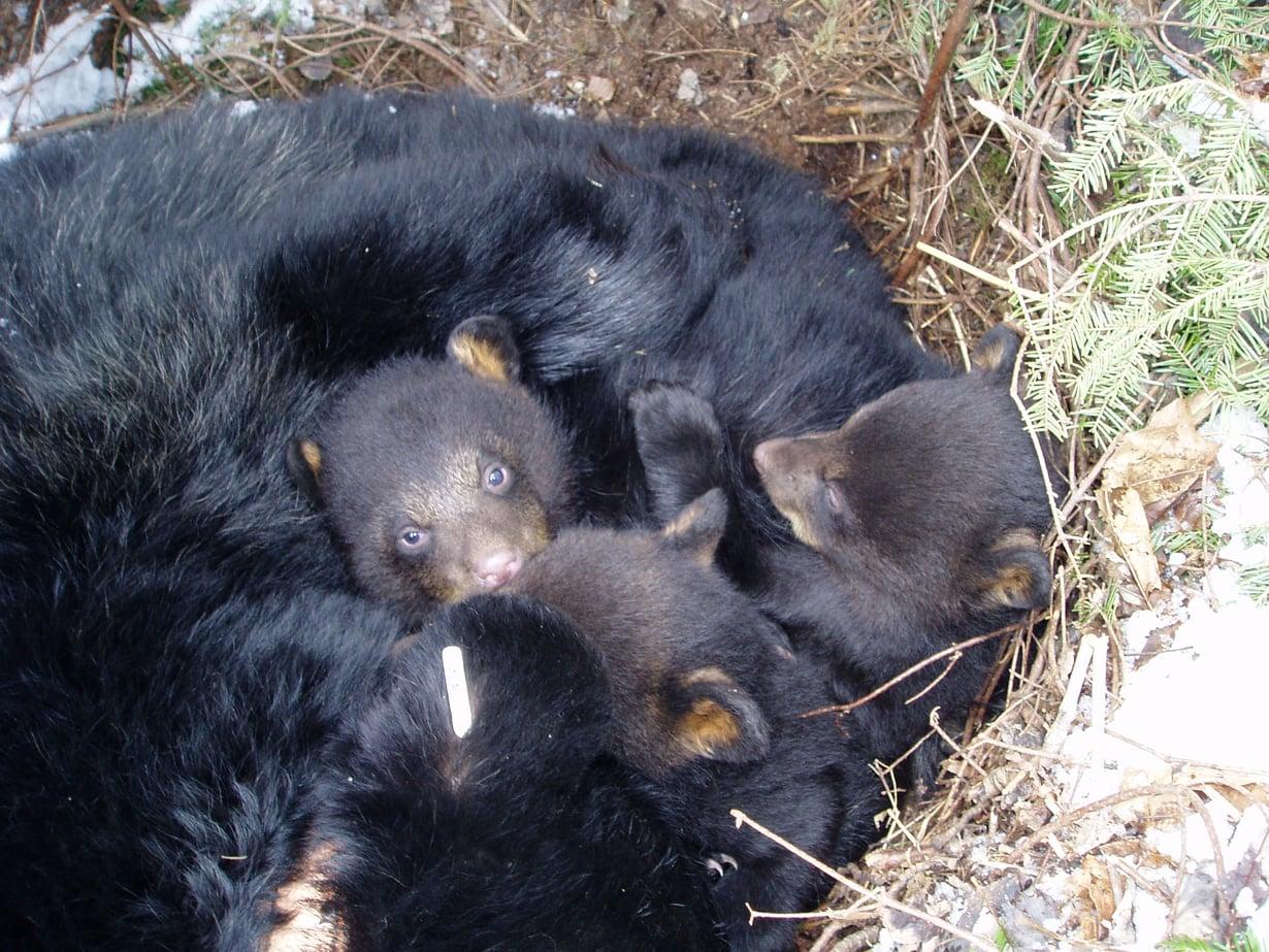 Karhuemon syke palaa talviunitasoon pian poikasten syntymän jälkeen. Viikkojen ajan se liikehtii hyvin vähän, jottei se vahingossa vahingoita imeväisiään.