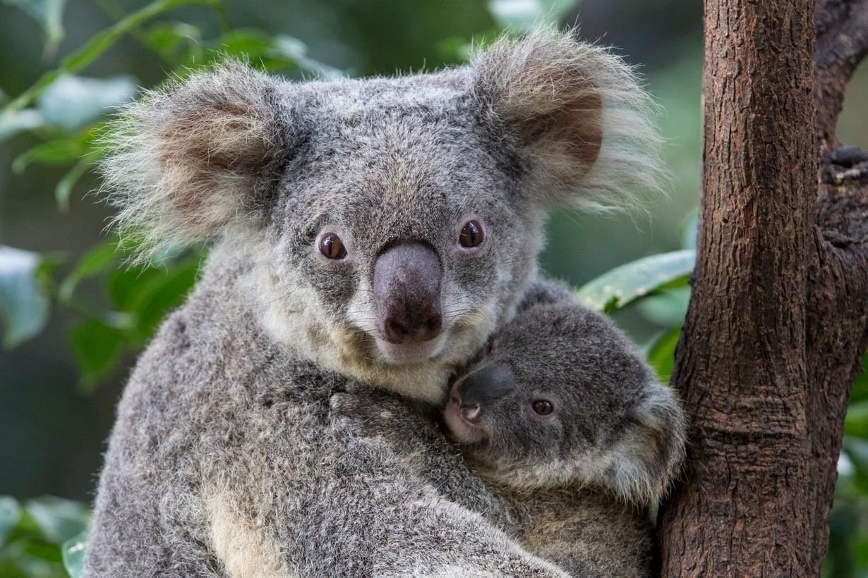 Eläintenkin vitsaukset johtuvat usein bakteereista. Koalakarhuissa leviää klamydia. Kuva: Getty Images