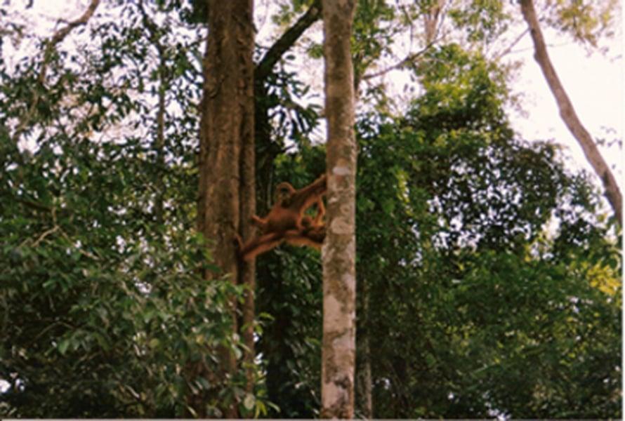"""Orankinaaras Gunung Leuserin kansallispuistossa Indonesiassa. Kuva: <span class=""""photographer"""">SKS Thorpe</span>"""