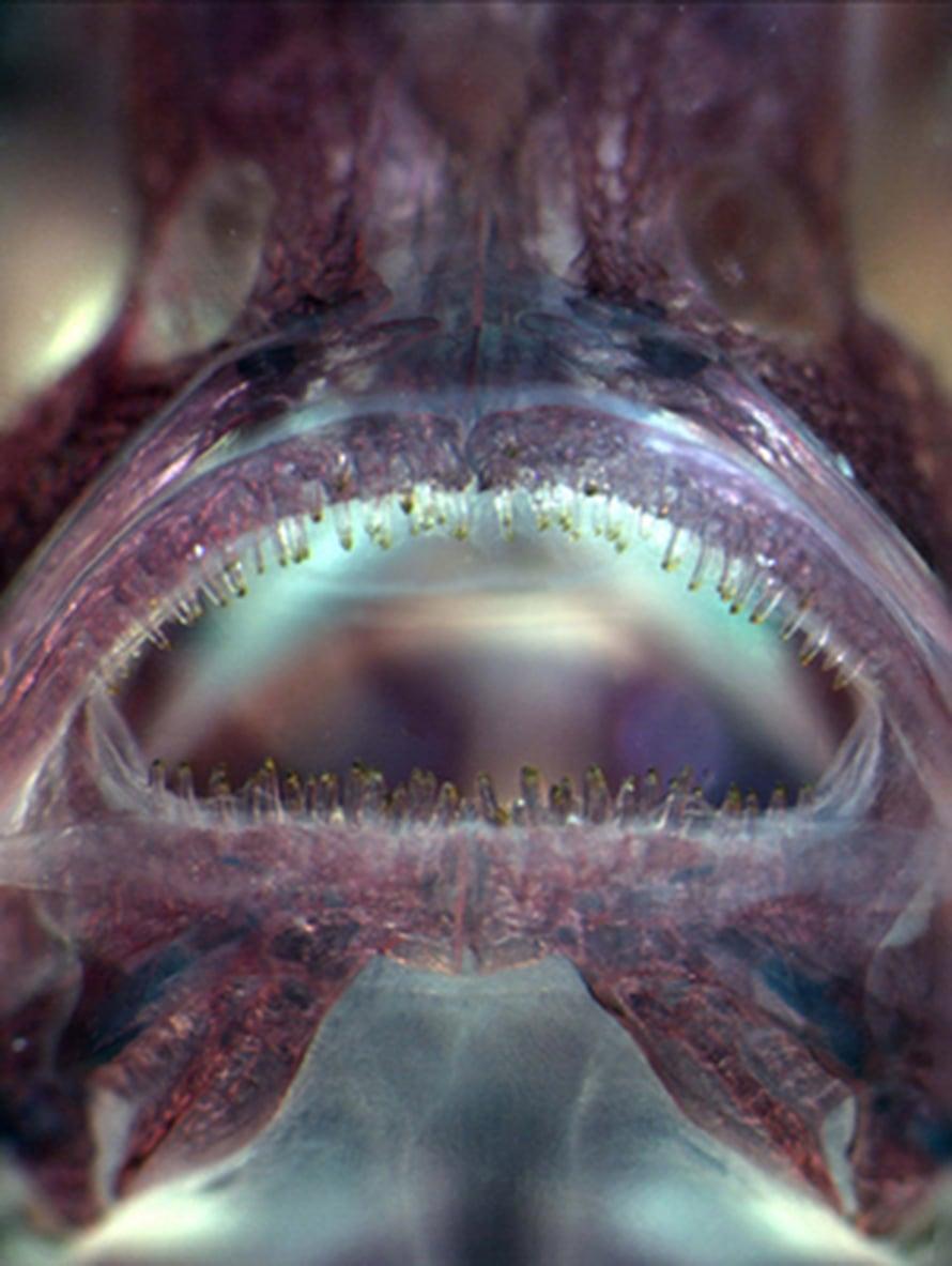 """Modernin piikkikalan leukoja reunustavat alle millin korkuiset hampaat. Kuva: <span class=""""photographer"""">Mark Purnell, University of Leicester</span>"""