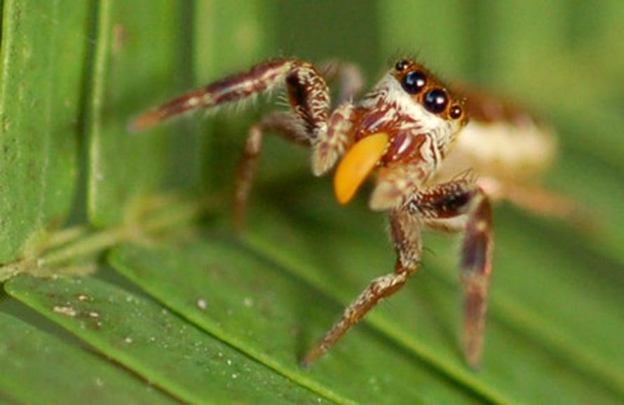 """Aikuinen naaraspuolinen hyppyhämähäkki Bagheera kiplingi. Kuva: <span class=""""photographer"""">R. L. Curry</span>"""