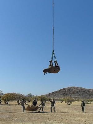 """Sarvikuonoja pitää välillä siirtää suojelun merkeissä uuteen elinympäristöön. Kuva: <span class=""""photographer"""">Namibian ympäristöministeriö</span>"""