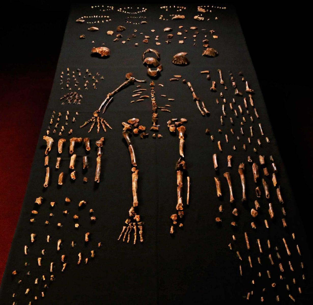 Noin 1,5-metrinen ja 45-kiloinen naledi  on outo yhdistelmä  alkukantaisia ja  kehittyneitä piirteitä.  Tällä perusteella se määritettiin omaksi  lajikseen. Kuva John Hawks