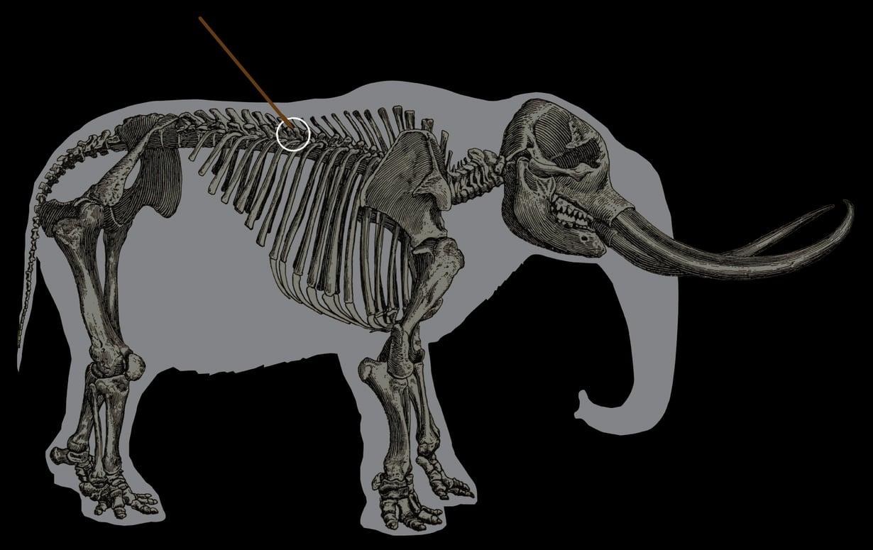 Kuva kertoo, mihin kohtaan mastodonttia keihäällä on isketty.