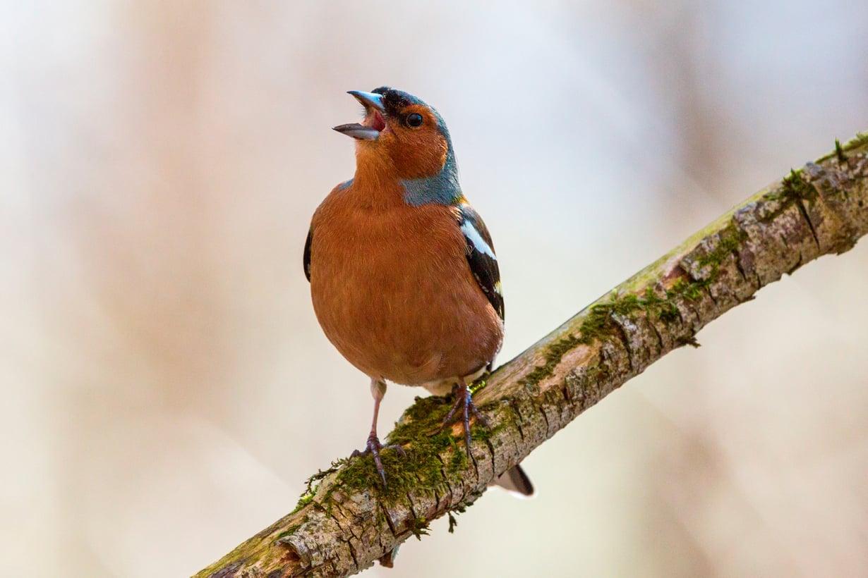 Laulutumake vasta vertyy. Kuva: Getty Images