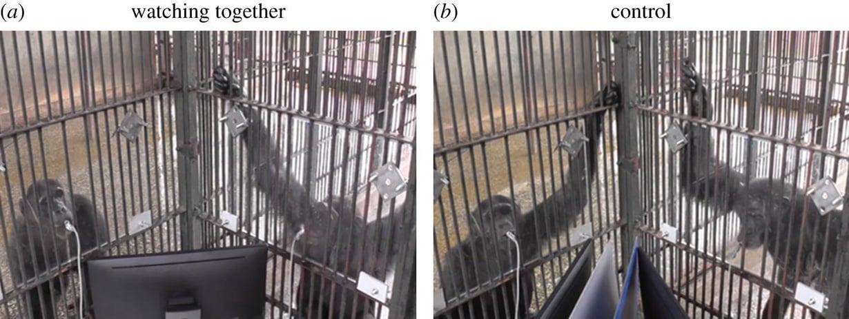 Simpanssit katselivat joko yhdessä tai erikseen televisiota kokeissa, jotka järjestettiin ugandalaisessa Ngamba Island Chimpanzee Sanctuary -suojelutarhassa. Kuva: Wouter Wolf ja Michael Tomasello, Proceedings of the Royal Society B