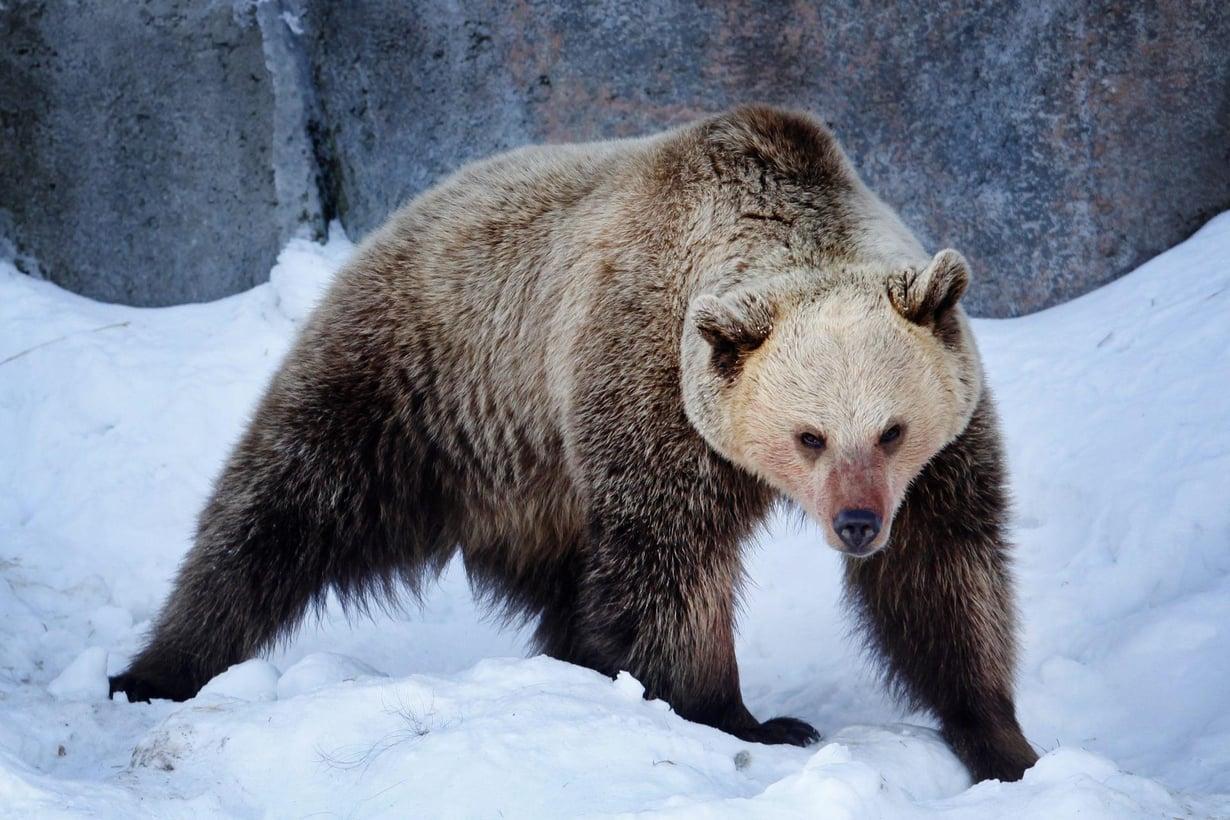 Korkeasaaressa talviunilta herännyt Yulija-karhu. Kuva: Outi Pyhäranta