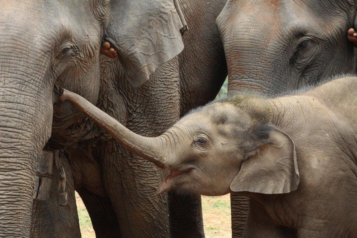 Aasiannorsun lapsuus on pitkä. Emo imettää poikasta kolmevuotiaaksi, ja eläin aikuistuu vasta 17 ikävuoden korvilla. Kuva: Virpi Lummaa