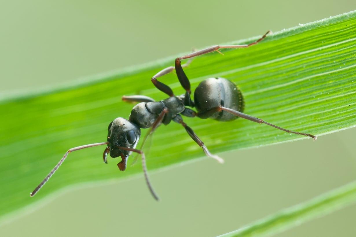 Mustamuurahainen osaa ottaa lääkettä. Kuva: Wikimedia Commons