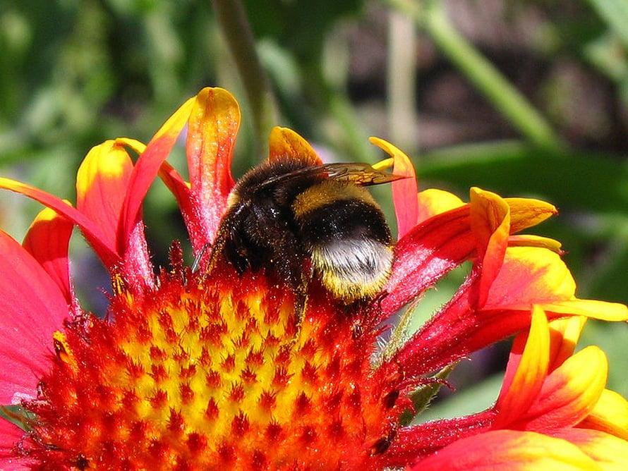 Kimalaiset ja mehiläiset ovat tärkeitä pölyttäjiä.