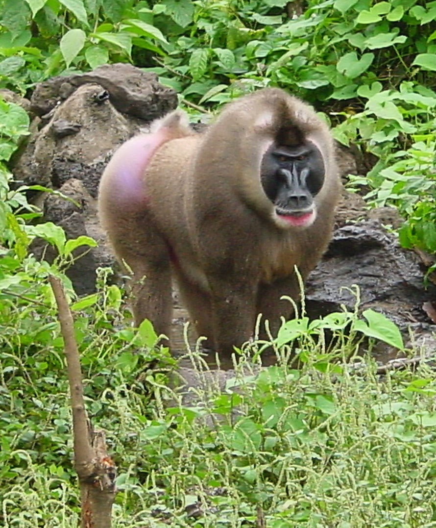 Biokon apinoista (kuvassa Biokon drilli) otettujen näytteiden geneettinen analyysi viittaa siihen, että SI-virus on vähintään 32000-75000 vuotta vanha.