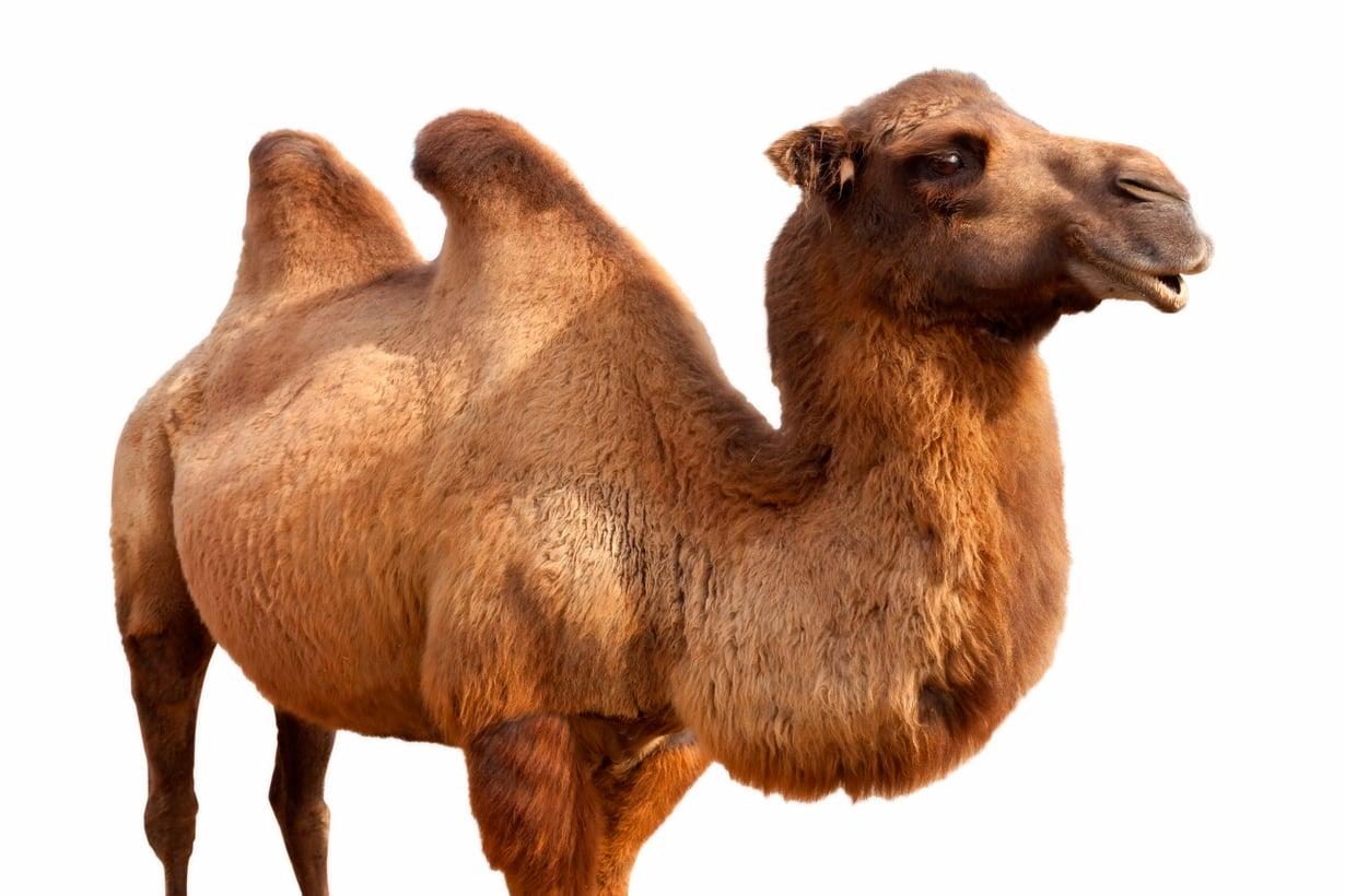 Kameli saattaa tykätä kyttyrää. Kuva: Shutterstock
