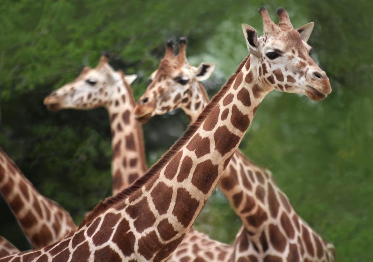 Muun muassa salametsästys, kaivostoiminta ja maanviljely ovat romahduttaneet kirahvien määrän 30 vuodessa. Kuva: Kimmo Taskinen