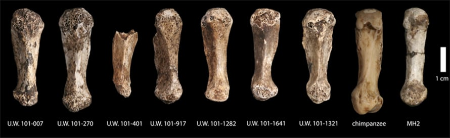 """Luolasta löytyi seitsemän, siis seitsemän, Homo naledin ensimmäistä kämmenluuta. Kuva: <span class=""""photographer"""">Berger ym. eLife</span>"""