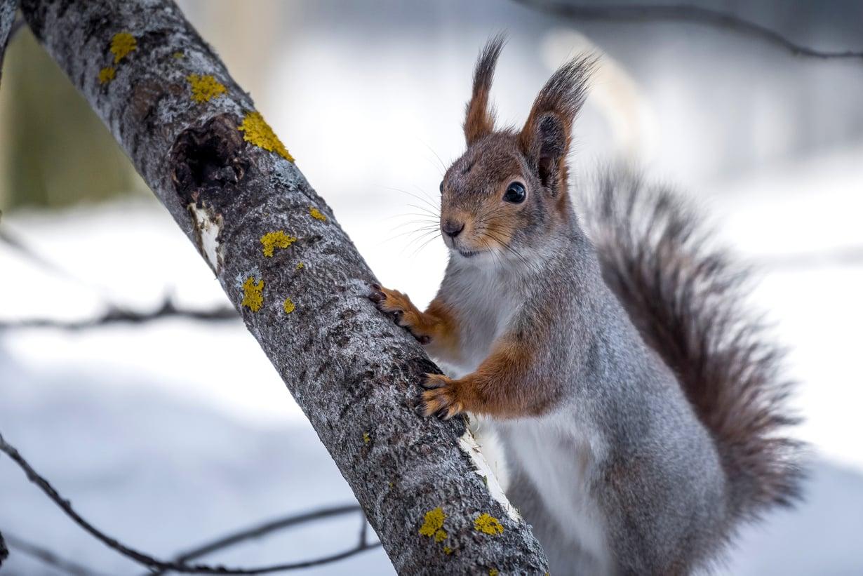 Orava huolehtii ylihuomisesta. Kuva: Getty Images