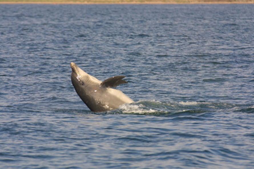 Delfiinit kykenevät ehkä puhuttelemaan toisiaan nimillä (kuva: Vincent Janik).