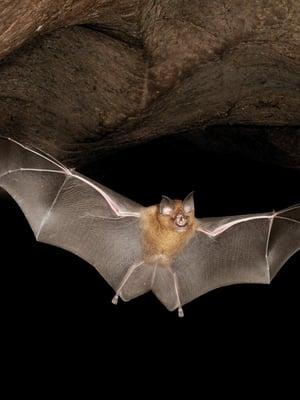 """Aasianherkko (Rhinolophus affinis) lennähtää luolasta Malesiassa. Kuva: <span class=""""photographer"""">Fletcher & Baylis/Science Source</span>"""