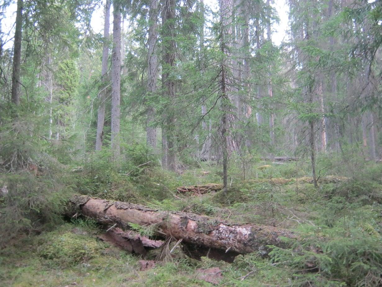 Maapallon puista on noin 1,39 tuhatta miljardia trooppisilla alueilla, 610 miljardia lauhkeilla alueilla ja 740 miljardia havumetsissä. Suomen puut kuuluvat pääosin havumetsävyöhykkeeseen. Kuva: Wikimedia Commons
