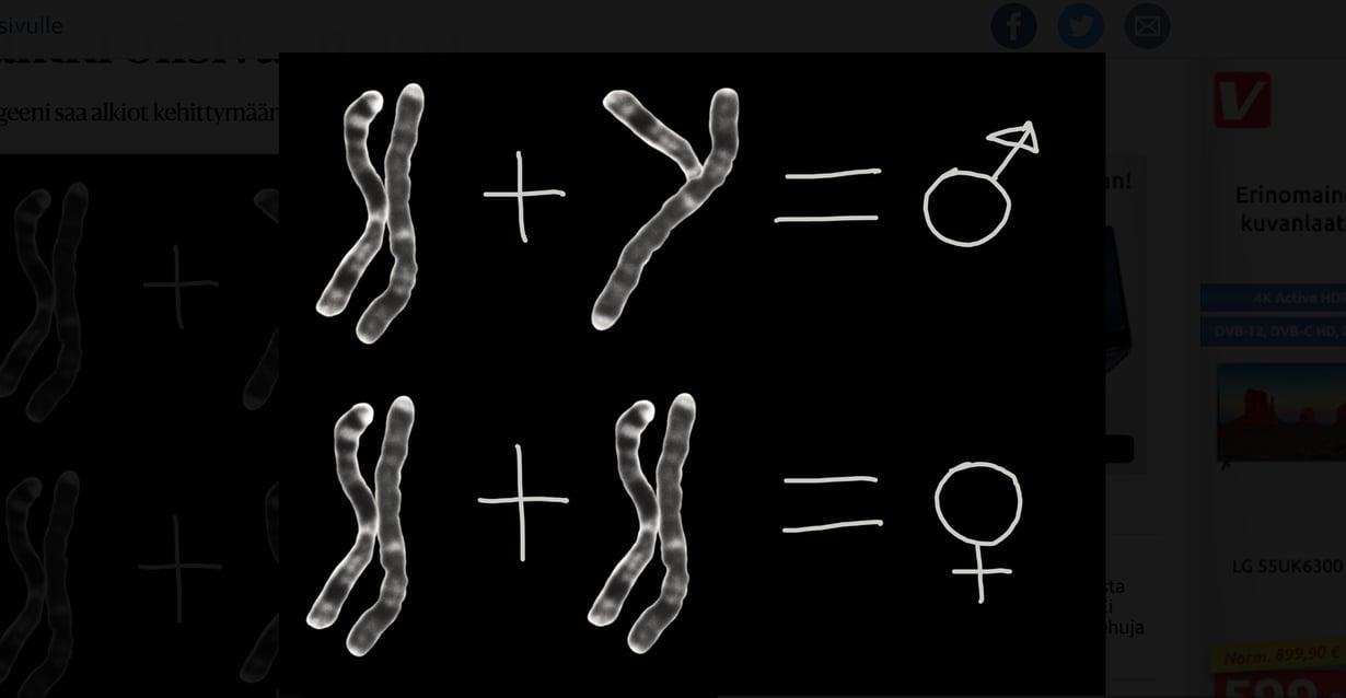 X- ja Y-kromosomin yhdistelmästä syntyy yleensä poika ja kahdesta X-kromosomista tyttö muttei aina. Kuva: Dept of clinical cytogenetis, Addenbrookes hospital/SPL.