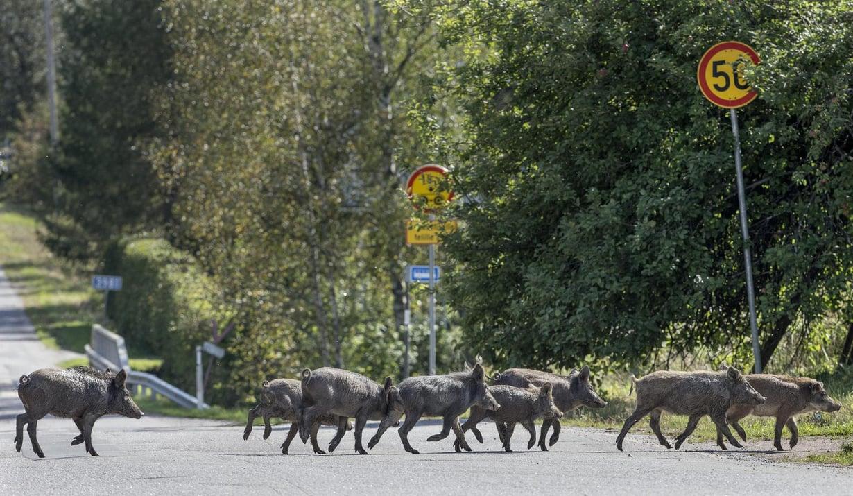 Venäjältä loikanneet villisiat juoksentelivat Rautjärven kylässä 2014. Kuva: Juha Metso