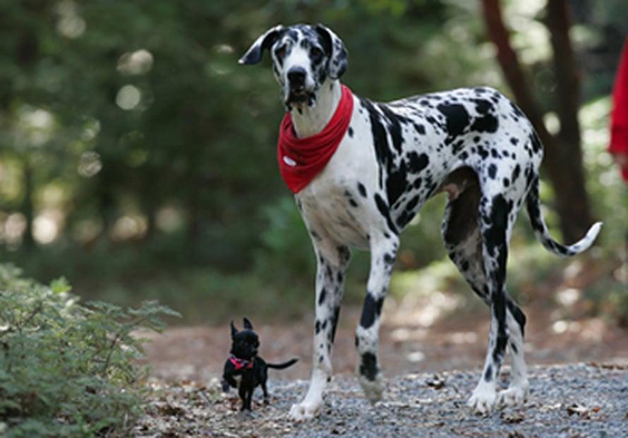 """Guinnessin ennätysten kirjan mukaan maailman korkein koira on tanskandoggi Gibson. Sen chihuahua-kaveri tottelee nimeä Zoie. Kuva: <span class=""""photographer"""">Deanne Fitzmaurice</span>"""