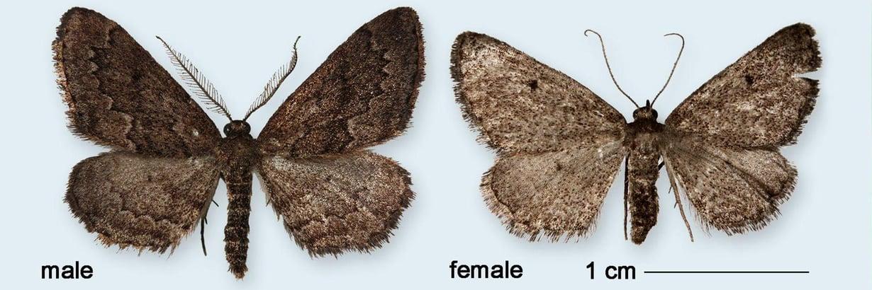 Kahden senttimetrin kokoiset perhoset löytyivät Portugalista. Vasemmalla on koiras, oikealla naaras. Kuva: Pasi Sihvonen