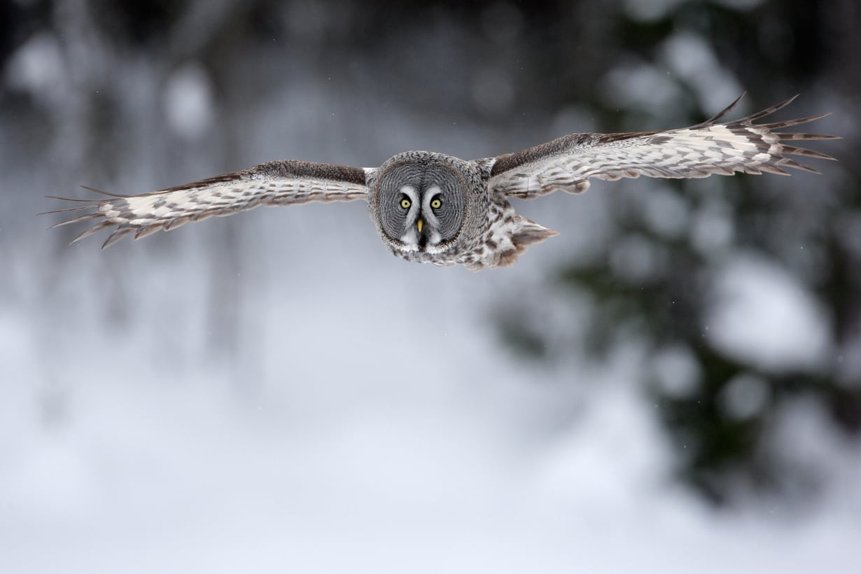 Äänetön isku onnistuu, koska siivet pilkkovat suuria ilmavirtoja pieniksi puroiksi. Kuva: iStock