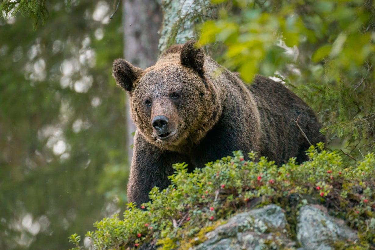 Karhu on meille mieleinen, vaikka sitä pelätäänkin. Sen hahmo henkii voimaa, viisautta ja lempeyttä. Kuva: Getty Images