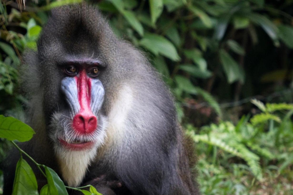 Mandrilli Singapren eläintarhassa. Kuva: Wikimedia Commons