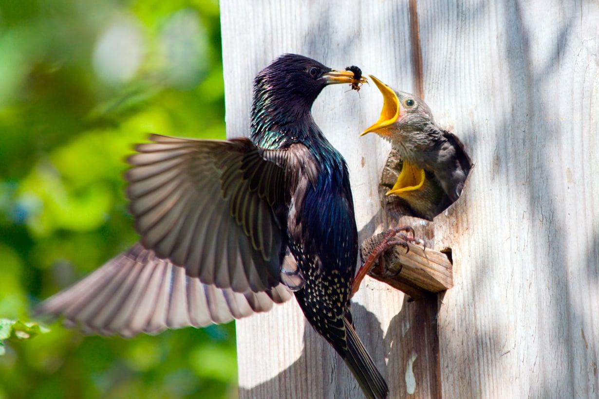 Lintujen tunne-elämä on vasta avautumassa. Se tiedetään jo, että poikasten hoito tuottaa mielihyvää. Kuva: Shutterstock
