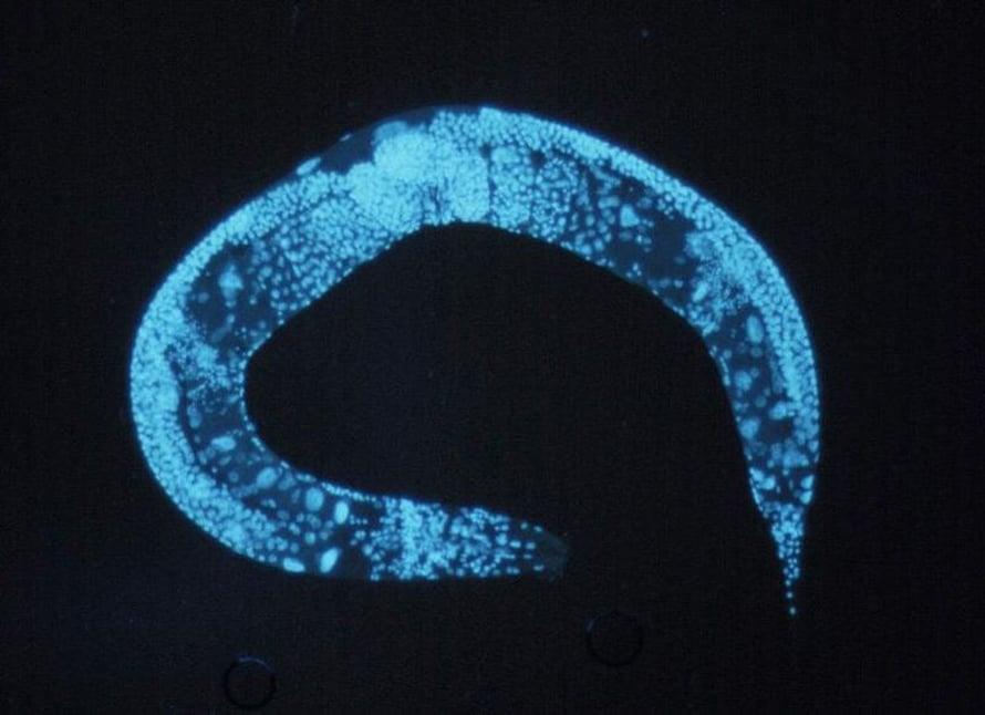 Ikääntymisen biologiaa tutkitaan C. elegans -sukkulamadon avulla.