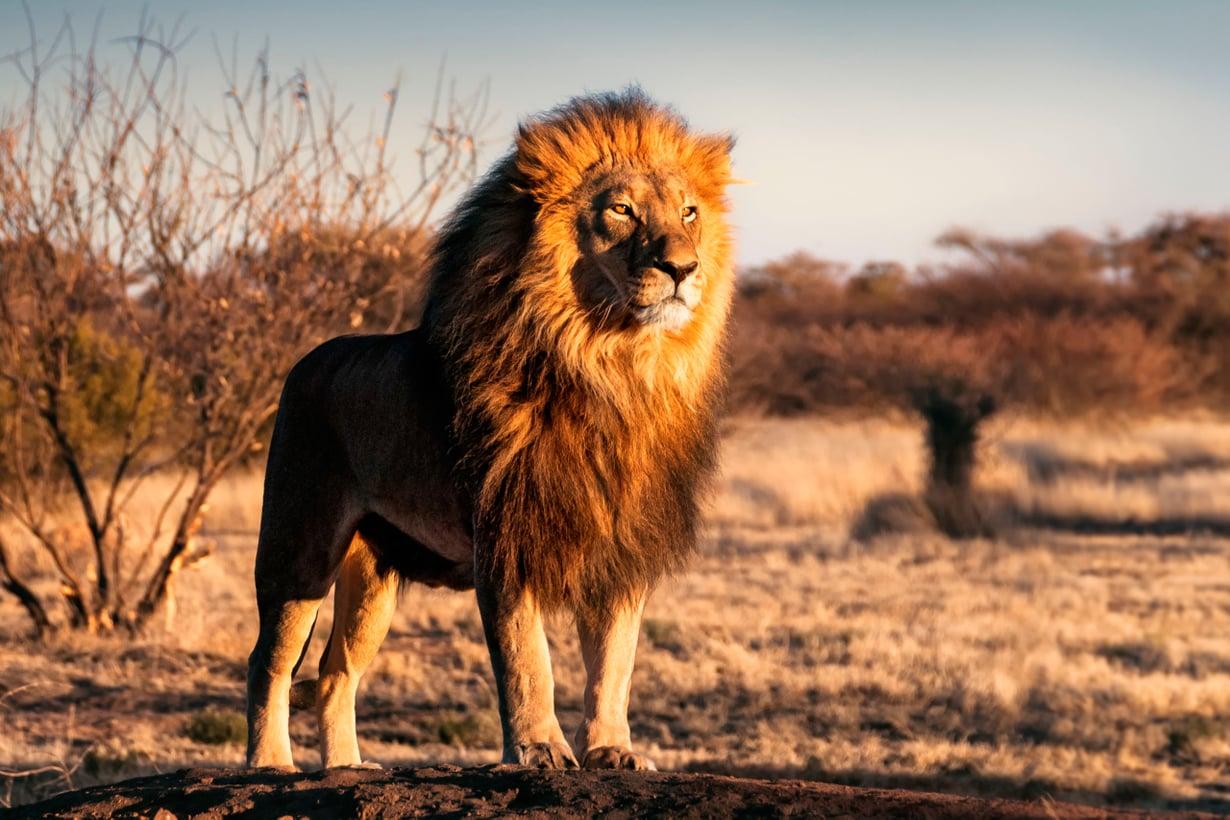 Leijonasta tuli ruotsalaisittain leijona vuonna 1642. Kuva: Shutterstock