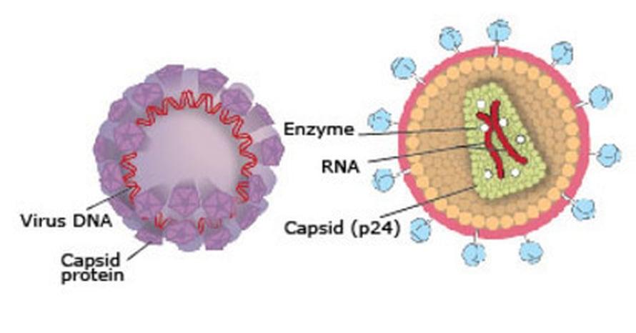 """Kaavakuva papilloomaviruksesta (vasemmalla) ja HI-viruksesta (oikealla). Kuva: <span class=""""photographer"""">Nobel-komitea, Annika Röhl</span>"""