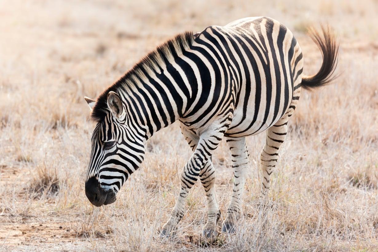 Lyhytkarvainen tarvitsee suojausta. Kuva: Getty Images