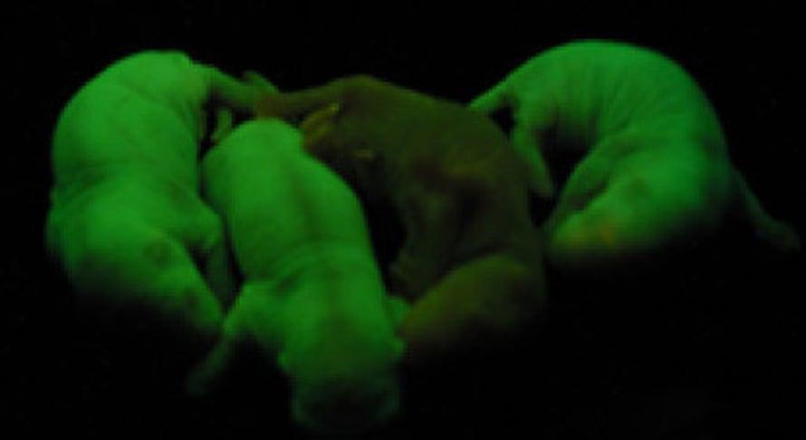 """Fluoriväri paljastaa, millä rottavauvoilla on ollut hiiri sijaisisänä. Kuva: <span class=""""photographer"""">National Academy of Sciences.</span>"""