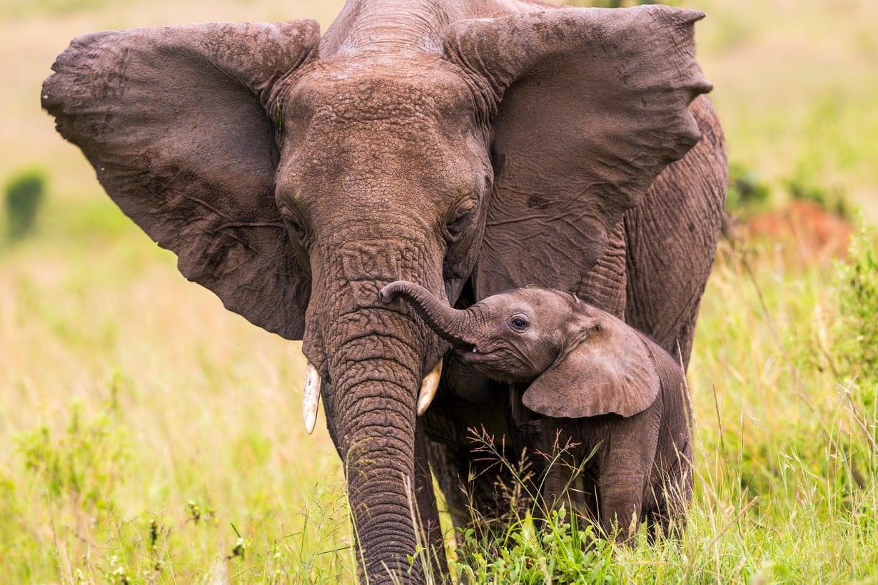 Norsu lienee ihmisen jälkeen auttamishaluisin eläin. Kuva: Getty Images