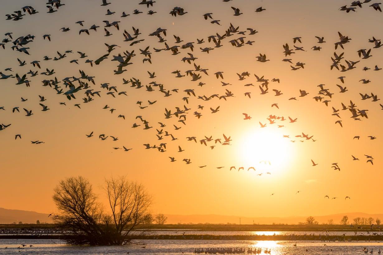 Hanhien muuttoparvessa vanhat yksilöt ottavat ohjat. Kuva: Getty Images