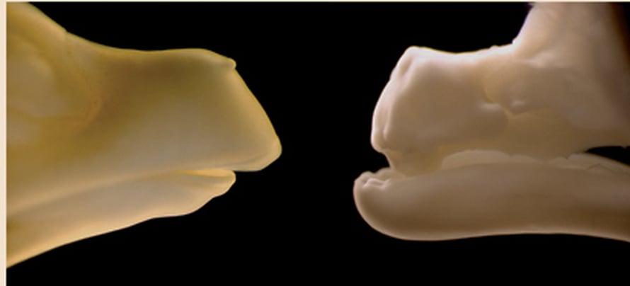 """Normaalin ja hampaallisen mutanttikanan nokat. Kuva: <span class=""""photographer"""">Matthew P. Harris.</span>"""