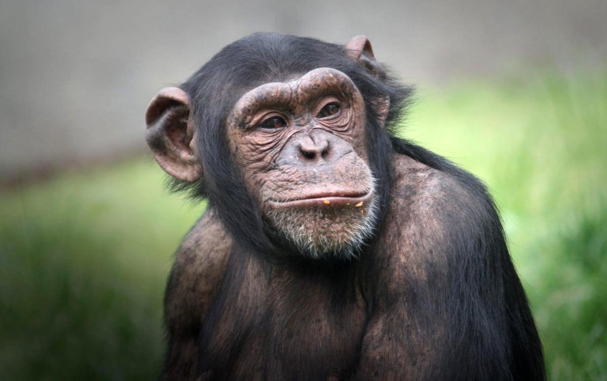 Simpanssia kannusti lähinnä oman herkkupalan saaminen. Kuva: Kimmo Taskinen HS